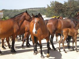 O imponente cavalo lusitano deu origem ao Mangalarga - turismoepa.blogspot.com